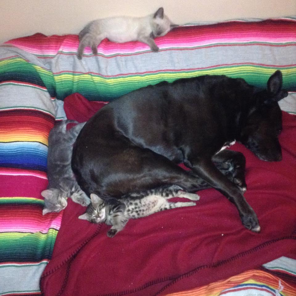 Perra dormida con gatos