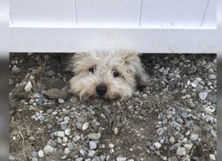 Perro curioso espía vecinos debajo de la cerca