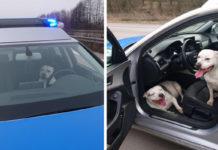 Perros perdidos saltan a patrulla de policía para pedir ayuda