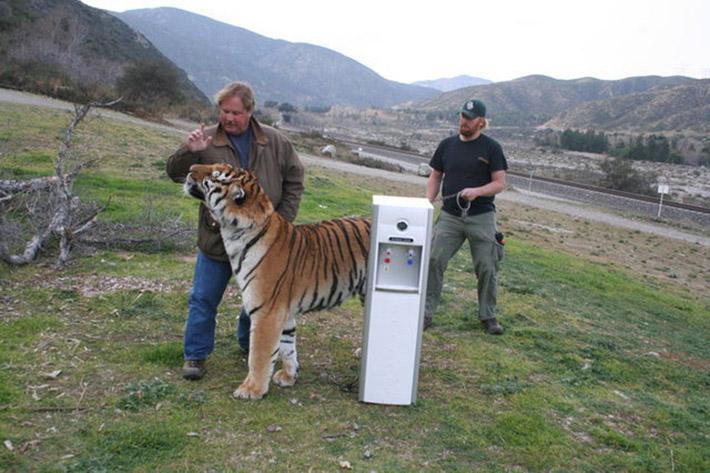 Tigre maltratado