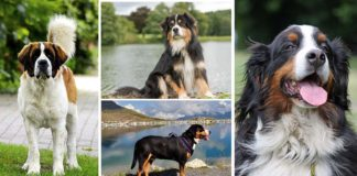 Tipos de perro Boyero