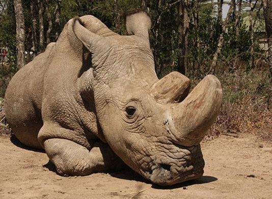 Último rinoceronte blanco del norte macho esta enfermo