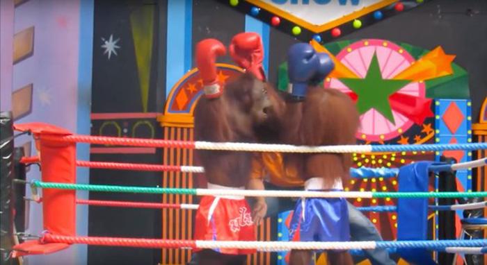 Zoológico hace pelear orangutanes en el ring de boxeo