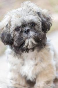 hidrocefalia en perros