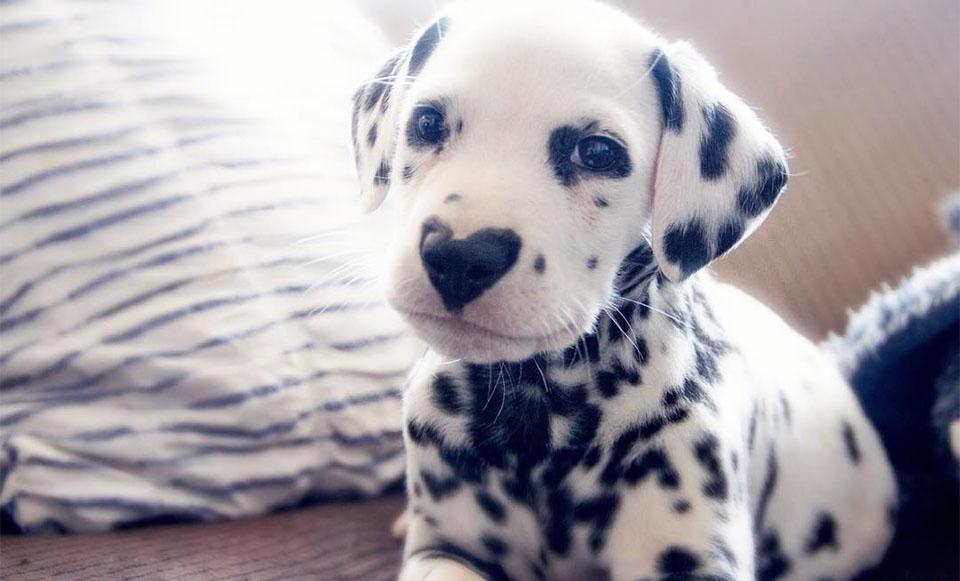 Cachorro con nariz en forma de corazón