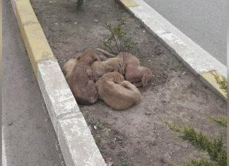 Cachorros sin hogar se abrazan juntos en medio de una carretera