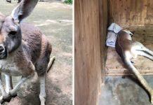 Canguro muere apedreado en zoológico