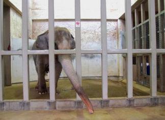 Elefante deprimido encerrado por 29 años