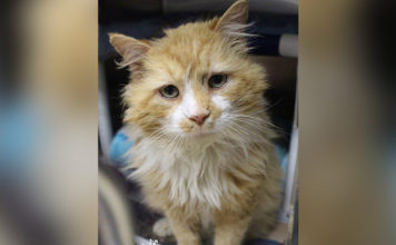 Gato camina 12 millas para buscar a su familia