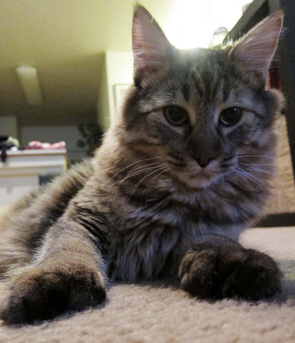 Gato de raza pixie bob
