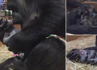 Gorila acuna y besa a su bebé recién nacido