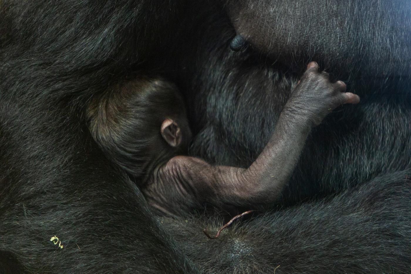 Gorilas Calaya y Moke