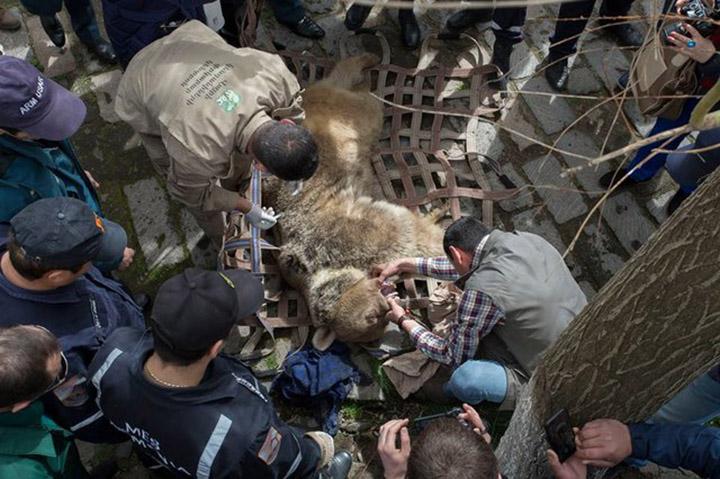 Oso es rescatado en Armenia