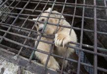 Oso estuvo encerrado por 9 años es liberado