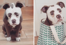 Perro con gigantes cejas parece payaso triste