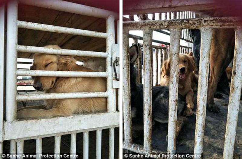 Perros en el comercio de carne chino