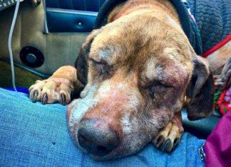 Piloto vuela 400 millas con un perro viejo para encontrar un hogar
