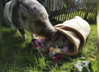 Cerdo tiene dulce reacción cuando pierde a su amigo