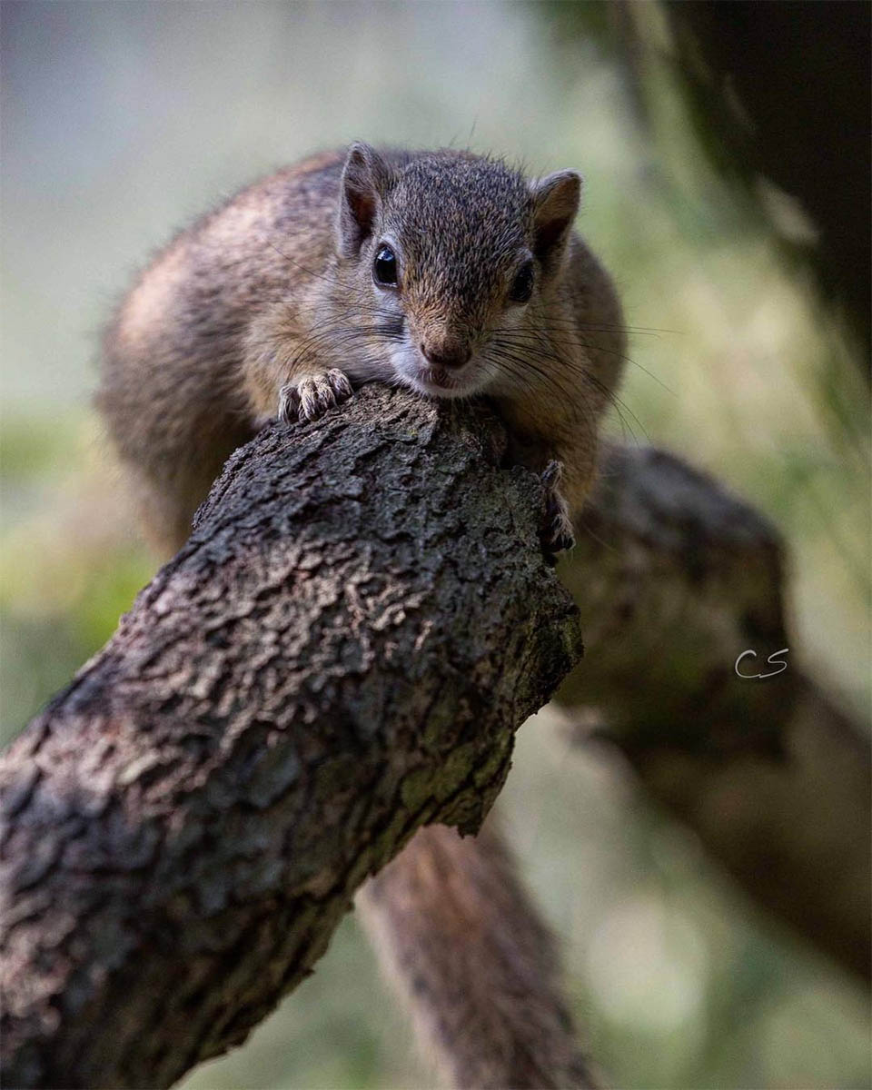 Dingetjie en un árbol