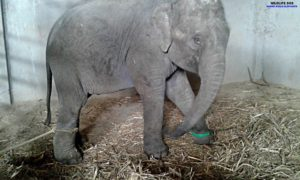 Elefante bebé no deja de llorar por su madre