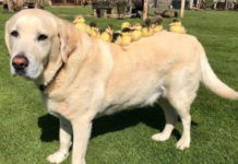 Fred adopta nueve patitos