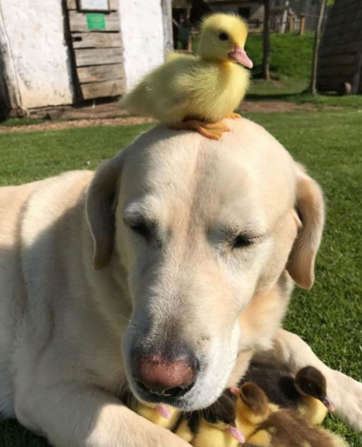 Fred y patitos