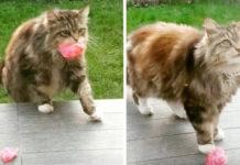 Gato lleva flores a su vecina