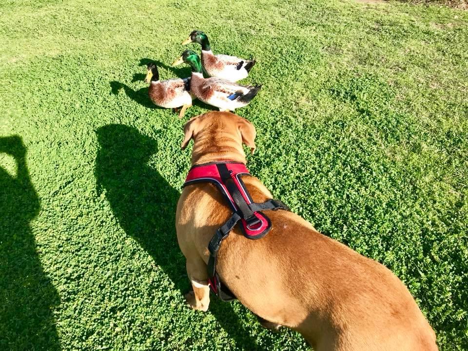 Neno quiere a los patos