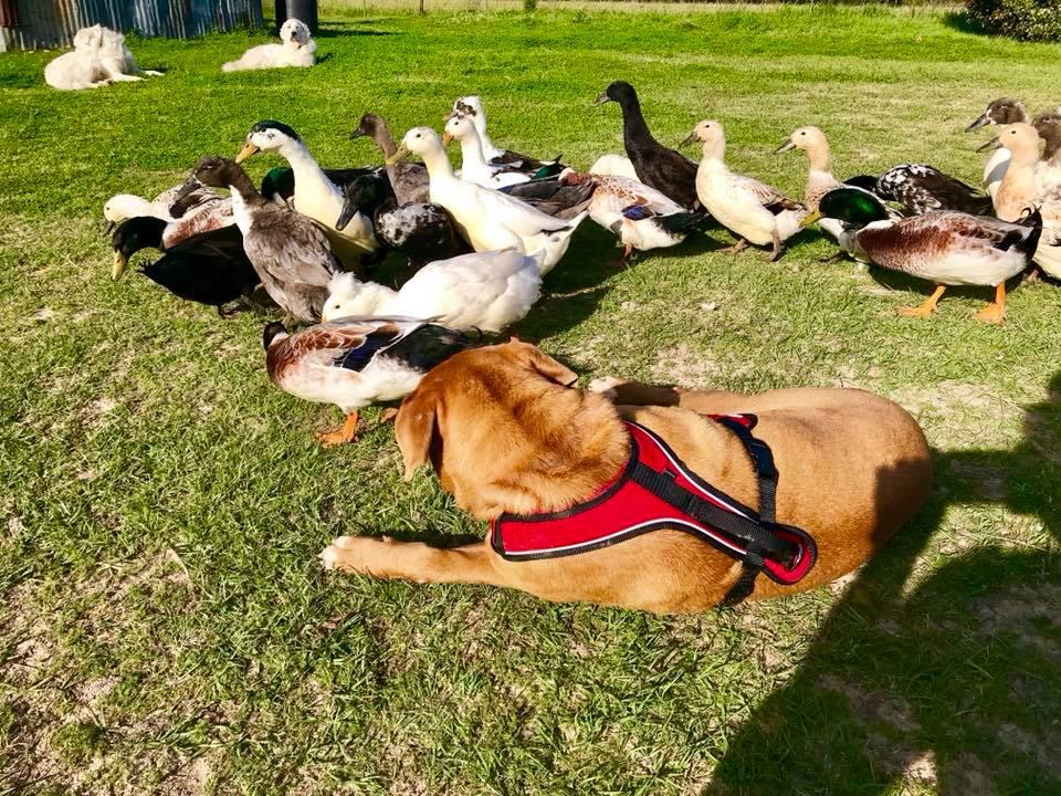 Neno y los patos