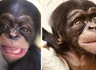 Pequeño chimpancé sonríe a rescatistas