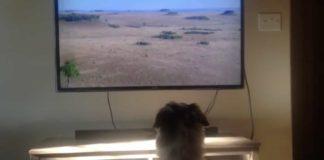 Perrita busca su cama para ver television