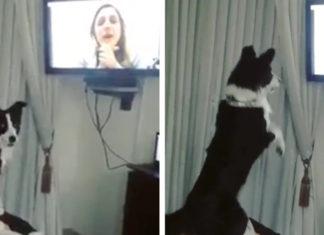 Reacción de perro al ver a su dueño en una videollamada