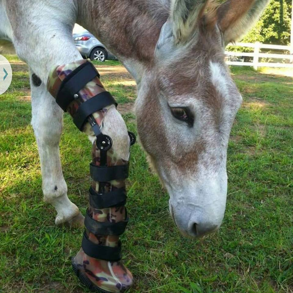Burro con prótesis