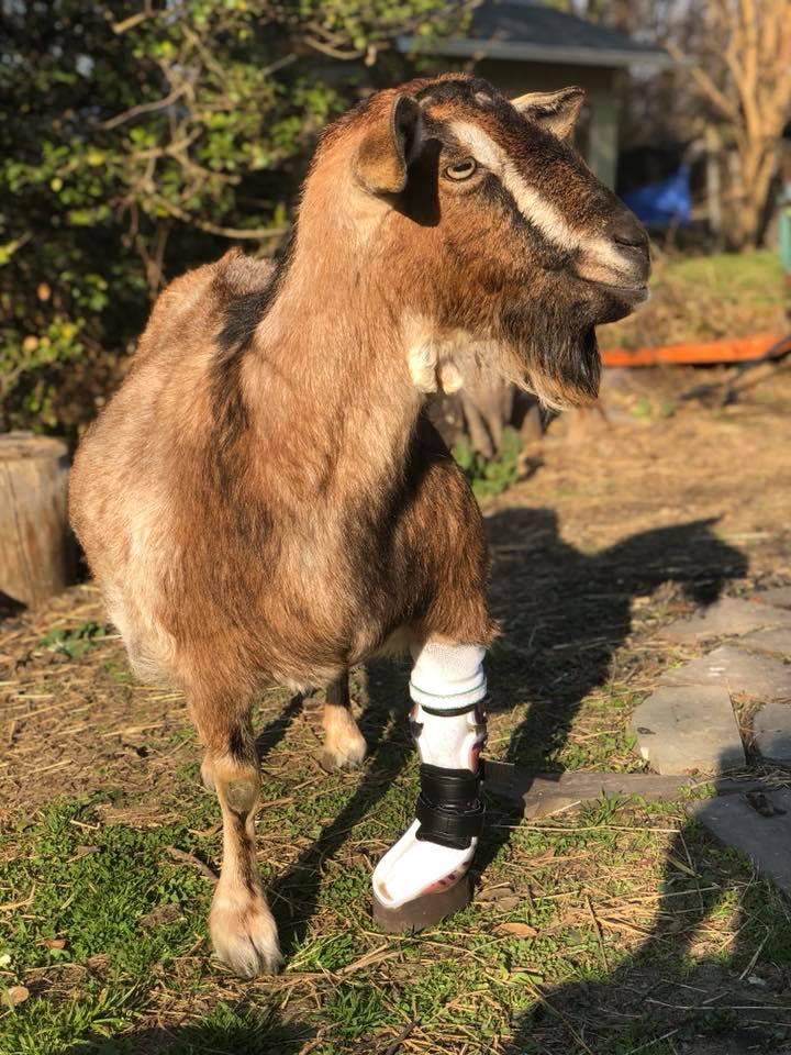 Cabra con prótesis