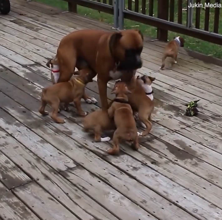 Cachorros bóxer