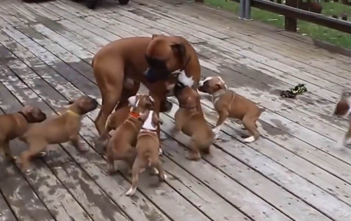 Cachorros hambrientos siguen a papá por comida