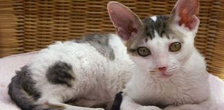 Gato de raza cornish rex