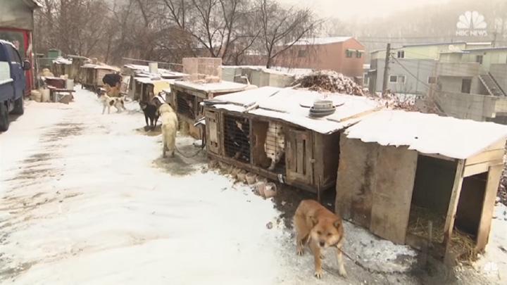 Granjas de carne de perro en Corea del Sur