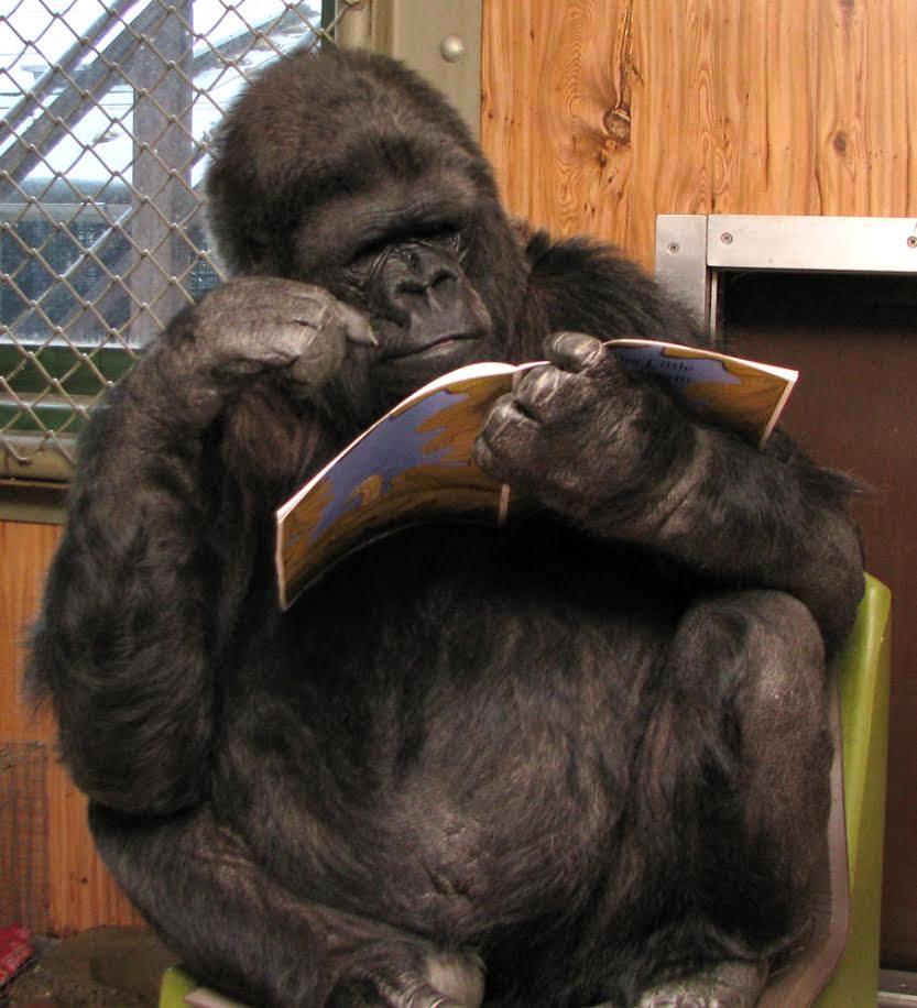 Koko leyendo