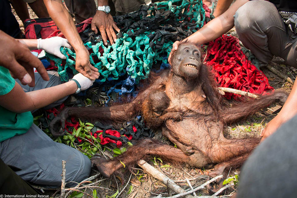 Orangután bebé rescatado