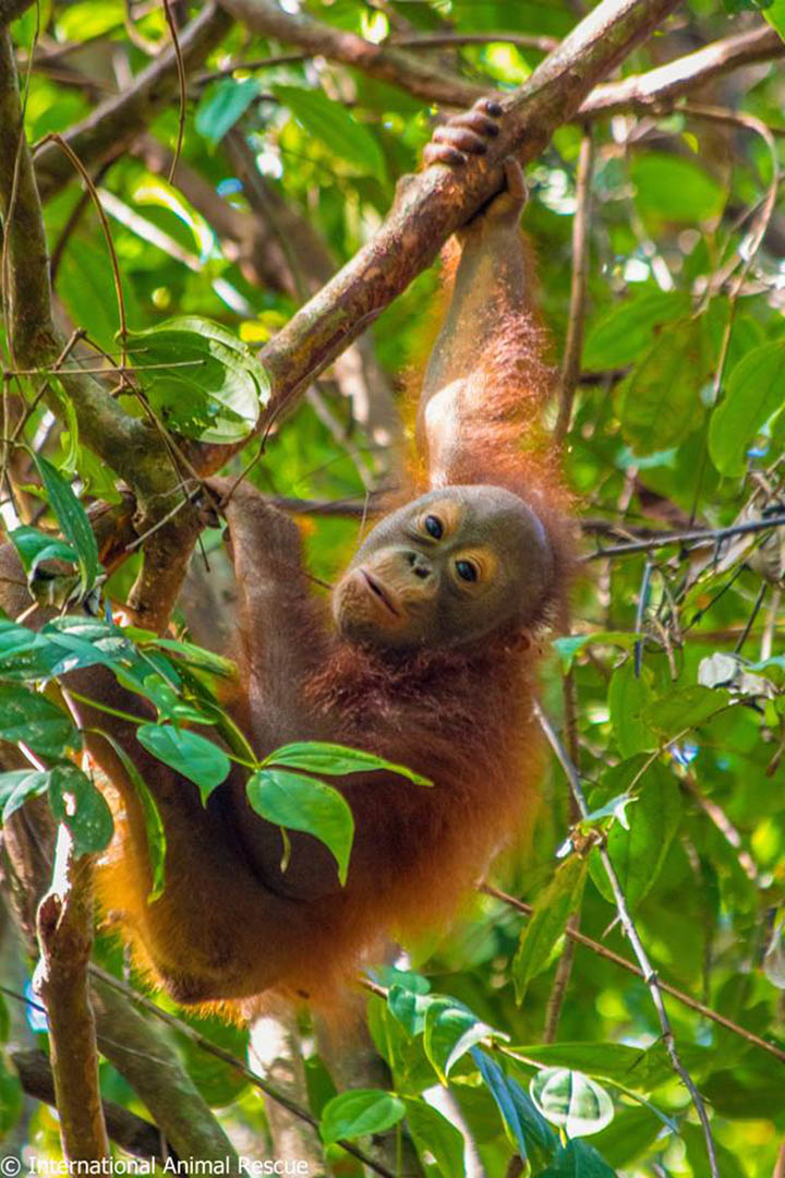Orangután en el bosque