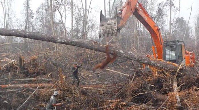 Orangután lucha contra excavadora que destruye su hogar