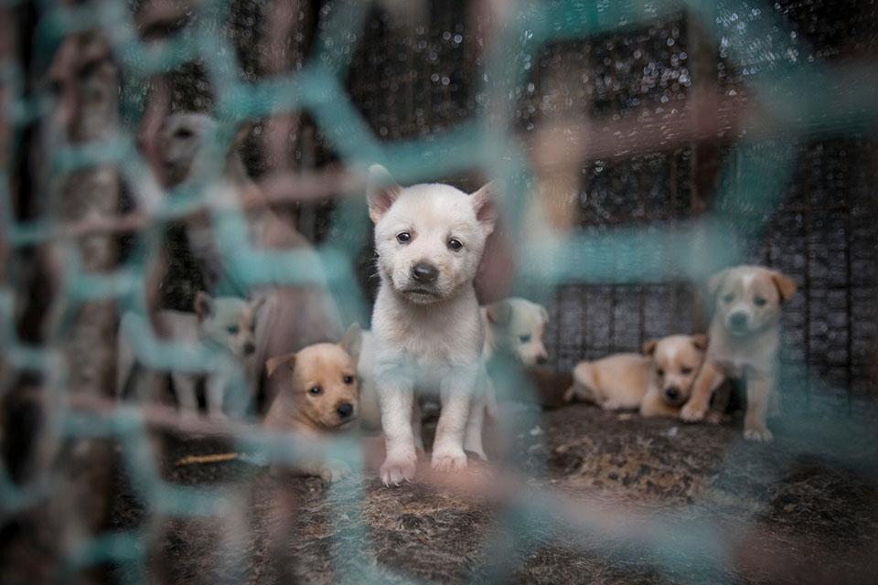 Perritos en granja de carne de perro