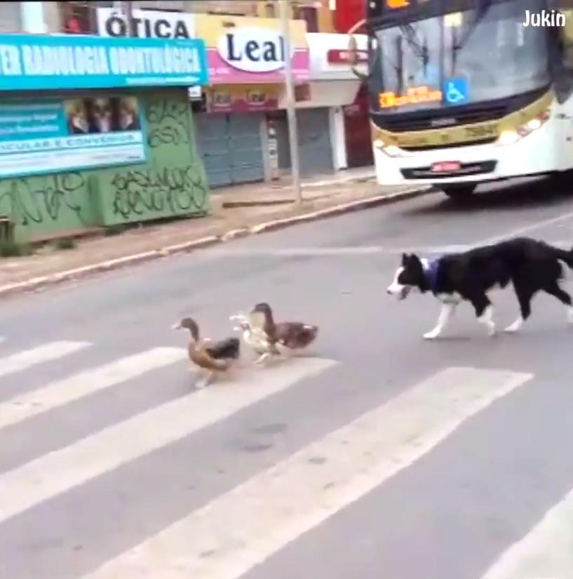 Perro ayuda a patitos