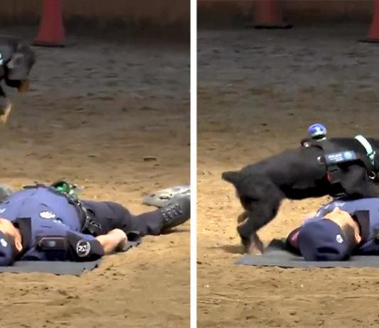 Perro policía aprende RCP para salvar a su compañero