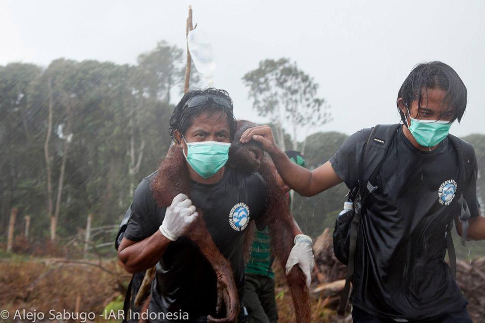 Rescate de orangutanes