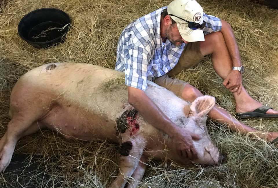 Cerdo corrió por horas para salvarse ama al hombre que lo ayudo