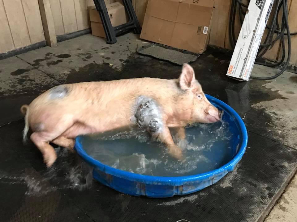 Cerdo en la piscina