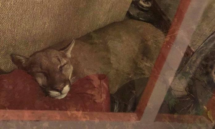 León de montaña toma siesta detrás de un sofá