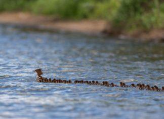 Mamá pato adopta a más de 70 patitos